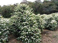 شجرة دائمة الخضرة