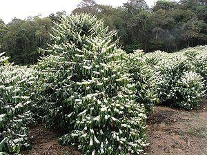 ต้นกาแฟอาราบิก้า - บราซิล