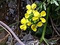 Coincya monensis subsp. nevadensis 25July2009 FlowersCloseup2 SierraNevada.jpg