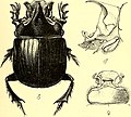 Coleoptera - general introduction and Cicindelidae and Paussidae (1912) (14598441837).jpg