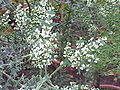 Colletia cruciata5.jpg