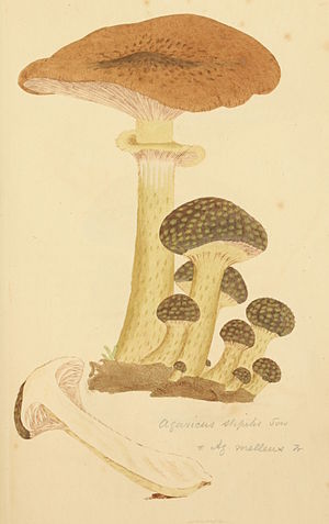 Armillaria mellea - Illustration from James Sowerby's Coloured Figures of English Fungi or Mushrooms