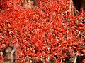 Combretum microphyllum (detail).jpg