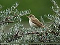 Common Chiffchaff (Phylloscopus collybita) (30605786225).jpg