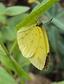 Common Grass Yellow - Eurema hecabe 1.JPG