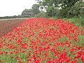 Common Poppies (Papaver rhoeas) - geograph.org.uk - 466273.jpg