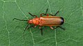 Common Red Soldier Beetle (Rhagonycha fulva) - Guelph, Ontario 02.jpg