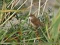 Common Whitethroat (Sylvia communis) (29844119873).jpg