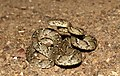 Common cat snake-Boiga trigonata.jpg