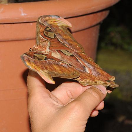 ComputerHotline - Lepidoptera sp. (by) (31).jpg