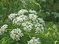 Conium maculatum inflorescence (11).jpg