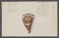 Conus capitaneus - - Print - Iconographia Zoologica - Special Collections University of Amsterdam - UBAINV0274 086 08 0017.tif