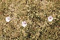 Convolvulus althaeoides on Rabat City lawn. Morocco (37498062000).jpg