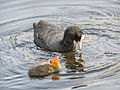 Coot, with young (14380524965).jpg