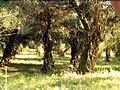 Corfu olive grove bgiu.jpg