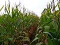 Corn Plants.jpg