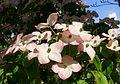 Cornus kousa 'Satomi' - VanDusen Botanical Garden - Vancouver, BC - DSC06750.jpg