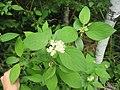 Cornus sericea ssp sericea 2-eheep (5098090248).jpg
