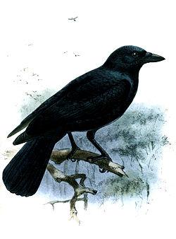 Un timbre à l'effigie du corbeau calédonien (Corvus moneduloides)