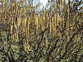 Corylaceae - Corylus Avellana 'Contorta' - Corkscrew Hazel - Europe & West Asia - Bush photo, Catkin level Branches.JPG