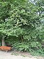 Corylus avellana - Botanischer Garten, Frankfurt am Main - DSC02597.JPG