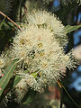 Corymbia tessellaris flowers 2.jpg
