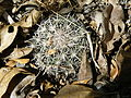 Coryphantha delicata (5710308762).jpg