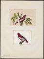 Cotinga pompadora - 1700-1880 - Print - Iconographia Zoologica - Special Collections University of Amsterdam - UBA01 IZ16600097.tif