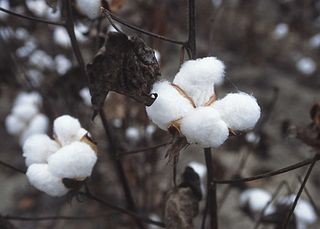 Cotton plant fiber from the genus Gossypium