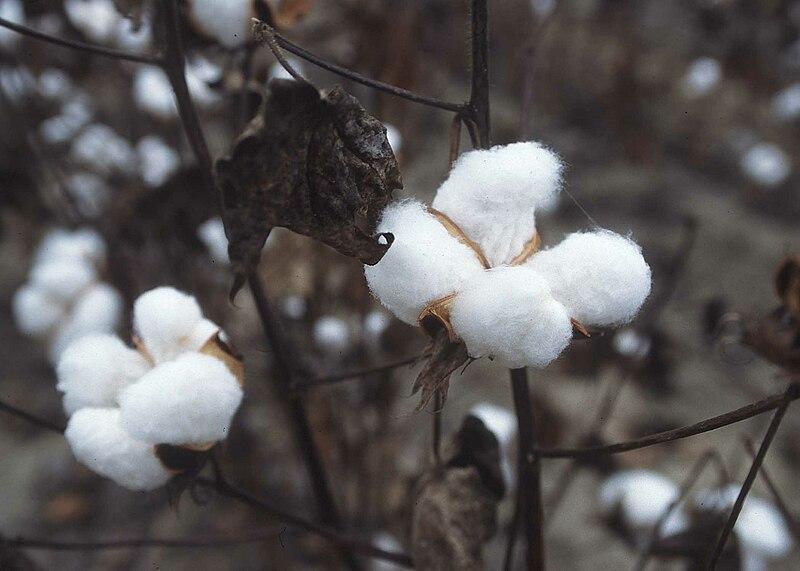 نبات القطن Cotton Plant