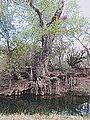 Cottonwood Tree Cienega Creek Arizona 2014.jpeg
