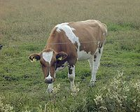 Picture of a cow.
