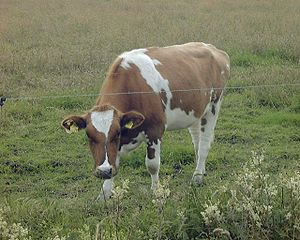 Holstein Friesian cattle - A red and white heifer