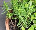 Crassula tetragona Plants 2871px.jpg
