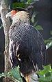 Crested Caracara (6022418180).jpg