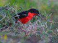 Crimson-breasted Shrike (Laniarius atrococcineus) feeding on the nest of Colonial Spiders (Stegodyphus dumicola) (7003063101).jpg