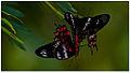 Crimson Rose (Atrophaneura hector) by Dharani Prakash.jpg
