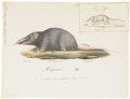 Crocidura indica - 1700-1880 - Print - Iconographia Zoologica - Special Collections University of Amsterdam - UBA01 IZ20900123.tif
