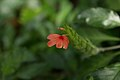 Crossandra nilotica - Botanischer Garten Dresden.jpg