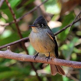 Cuban pewee species of bird
