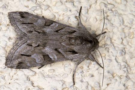 Cucullia fraudatrix, Lodz(Poland)01(js).jpg