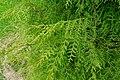 Cupressus funebris - Hillier Gardens - Romsey, Hampshire, England - DSC04429.jpg