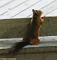 Curious Squirrel (14610270448).jpg