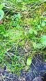 Curonian Spit - Anguis fragilis.jpg