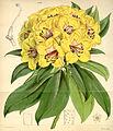 Curtis's Botanical Magazine, Plate 4336 (Volume 73, 1847).jpg