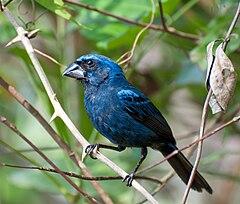240px cyanocompsa brissonii  vale do ribeira, registro, sao paulo, brasil  male 8
