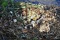 Cygnus olor (Küken) - Arboretum 2011-05-28 18-18-08.JPG