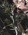 Cylindropuntia leptocaulis 2.jpg