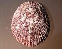 Cymbula miniata 002