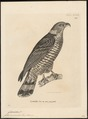 Cymindis uncinatus - 1700-1880 - Print - Iconographia Zoologica - Special Collections University of Amsterdam - UBA01 IZ18200366.tif